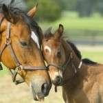 Cavallo con Puledro
